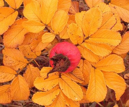 Pfuideibel du Herbst: Hagebutte (30.10.2009)
