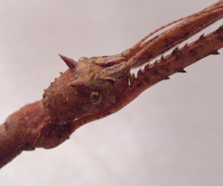 Medauroidea_4